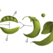 Gregor Mendel Google Doodle gives peas a chance - photo 1