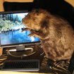 Computers for animal lovers - the beaver - photo 1