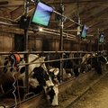 Russian cows watching HDTVs