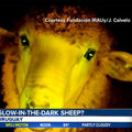 Scientists invent glow in the dark sheep and no, it isn't 1 April