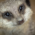 London Zoo helps Ofcom trial 'white space' wireless broadcasting, streams meerkats (and why not?)