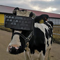 Can VR help cows produce more milk? Russia hopes so