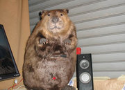 Computers for animal lovers - the beaver - photo 3