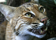 Will the next Apple OSX be called Bobcat? - photo 2