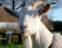 Twitter security flaw conceives goat sex fetish