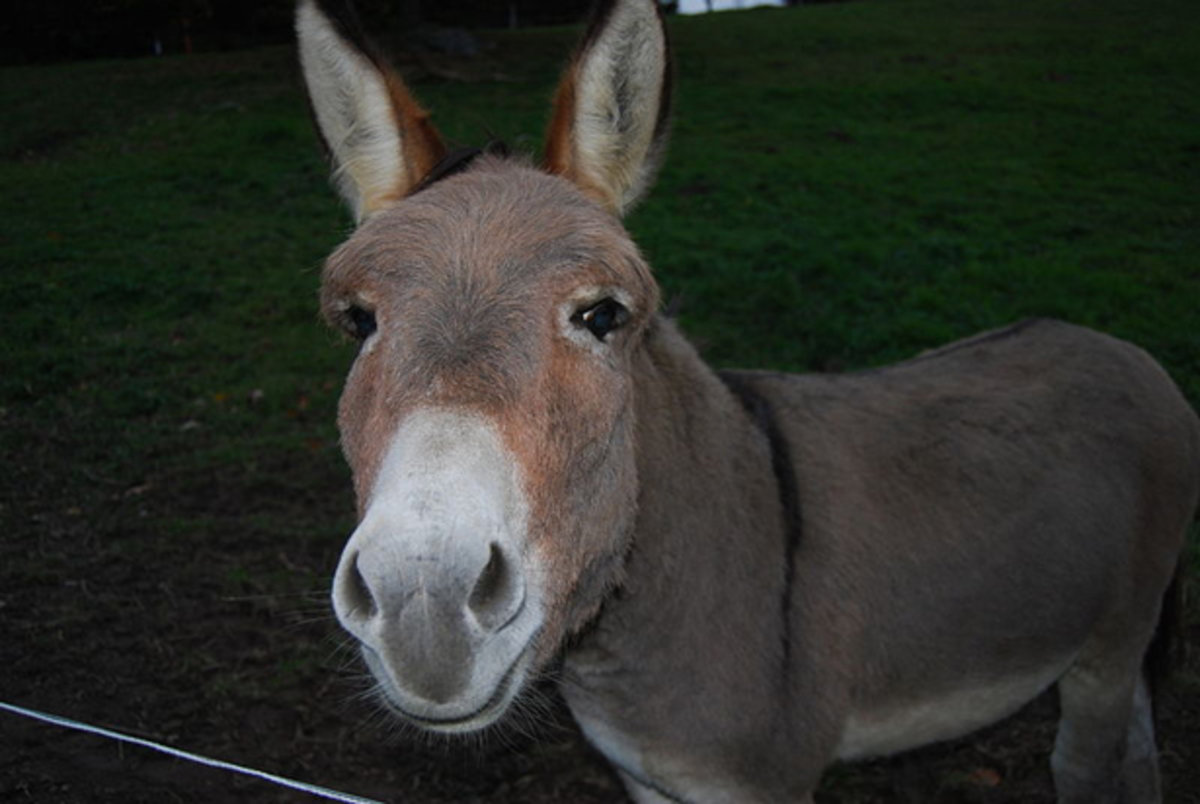 dominick the donkey could beat x factor stars little mix to uk christmas no 1 video pocket lint - Dominick The Donkey Christmas Song
