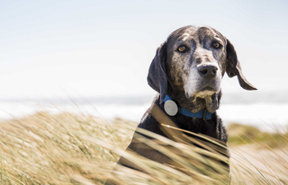 Whistle Activity Monitor offers wearable health tracking for dogs