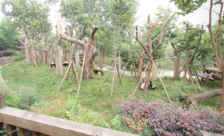 google street view visits the zoo captures panoramic views of china s giant pandas image 3