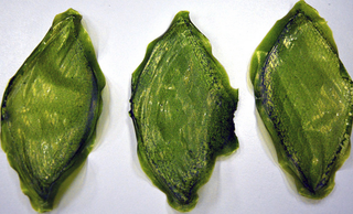 man made leaf could make deep space travel and off world colonisation possible image 2