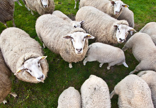 iSheep are real: Internet-connected sheep are roaming Wales