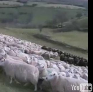 Samsung accused of cruelty to sheep