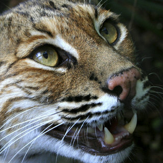 Will the next Apple OSX be called Bobcat?