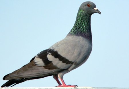 Pigeons faster than broadband Internet