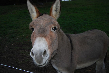Dominick the Donkey could beat X-Factor stars Little Mix to UK Christmas no. 1 (video)