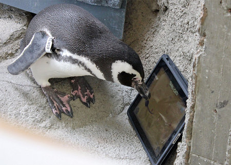 Penguins play iPad, set new high score (video)