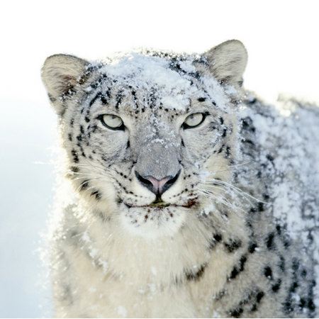 Snow Leopard arriving earlier than expected?